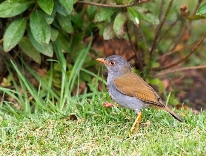Orange-billed Nightingale Thrush, Finca Lerida, Panama