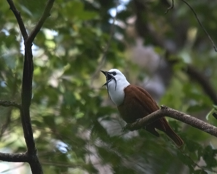 Three-wattled Bellbird, Finca Lerida, Panama