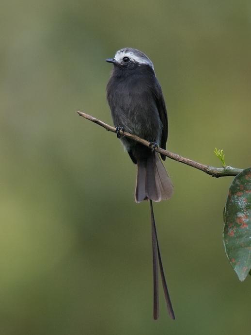 Birding Panama El Valle And Canopy Lodge Wickersham S