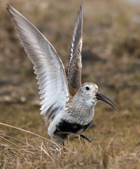 Dunlin Dance
