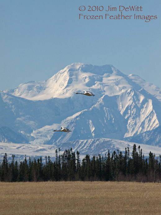Trumpeter Swans and the Alaska Range