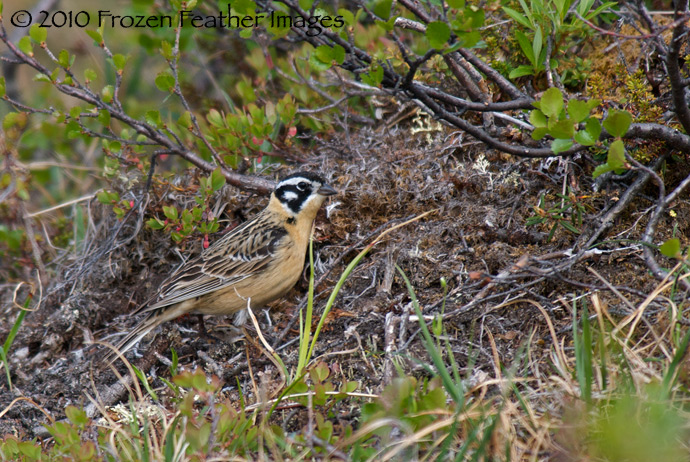 Smith's Longspur (male)