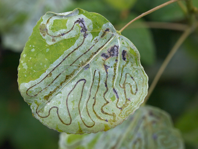 Leaf Miner-damaged Aspen leaf