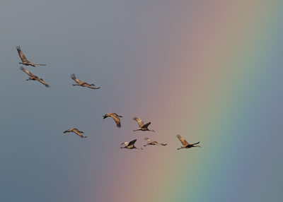 Cranes Against a Rainbow