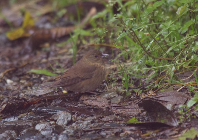 Unicolored Tapaculo