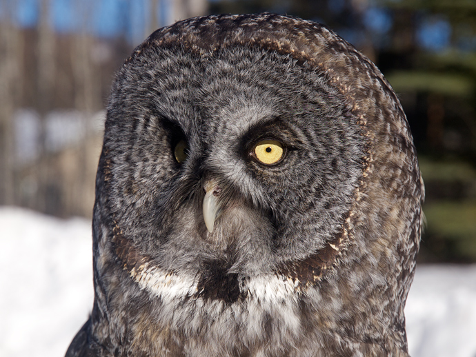 Earl, the Great Grey Owl