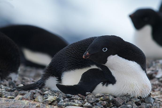 Adelie Penguin on Nest