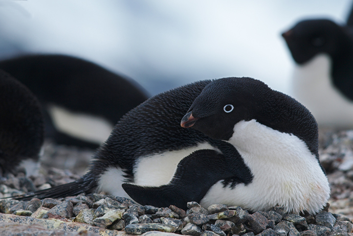 Adelie Penguin on Nest
