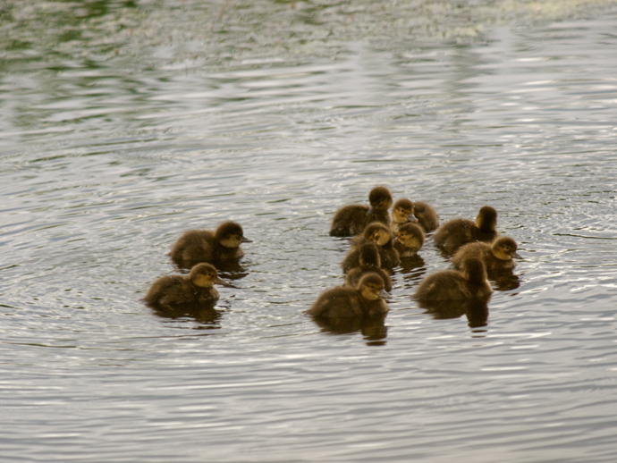 American Widgeon Ducklings