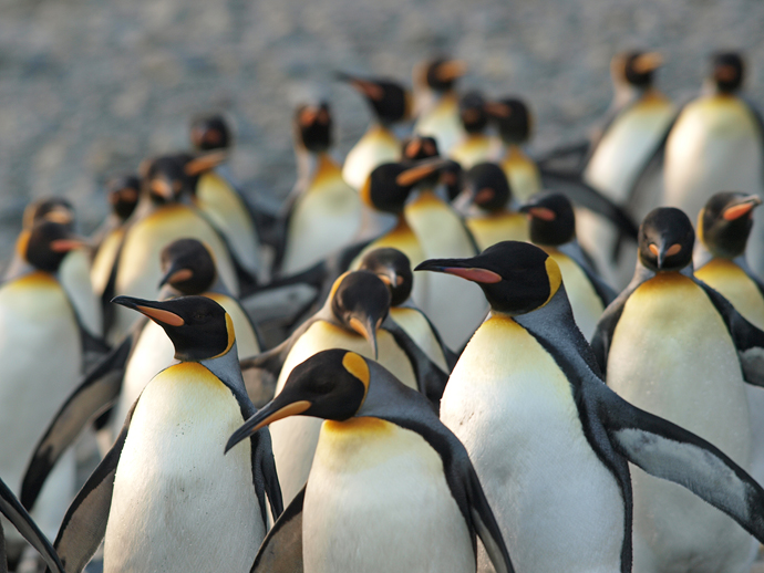 King Penguin Flock