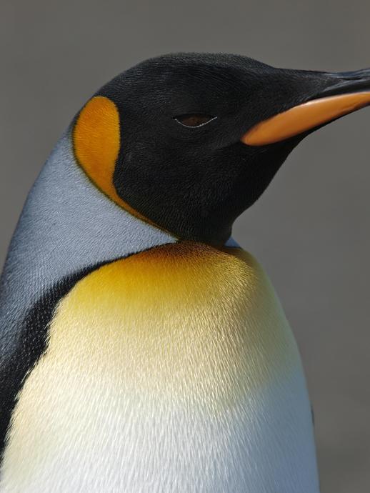 King Penguin - Side View