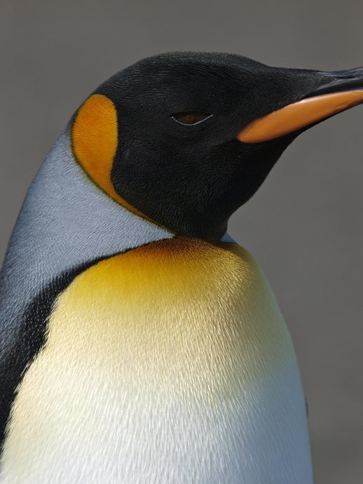 King Penguin - Side View