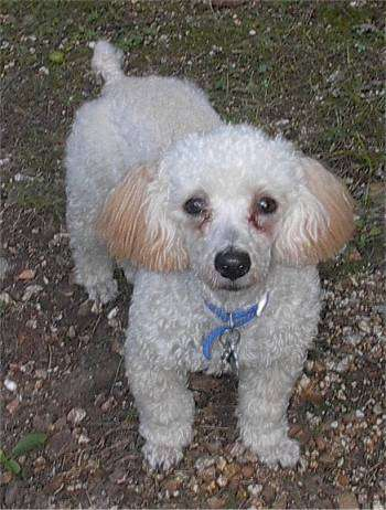 Miniature Poodle (not a WC photo)