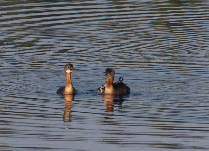Red-necked Grebes with Kids