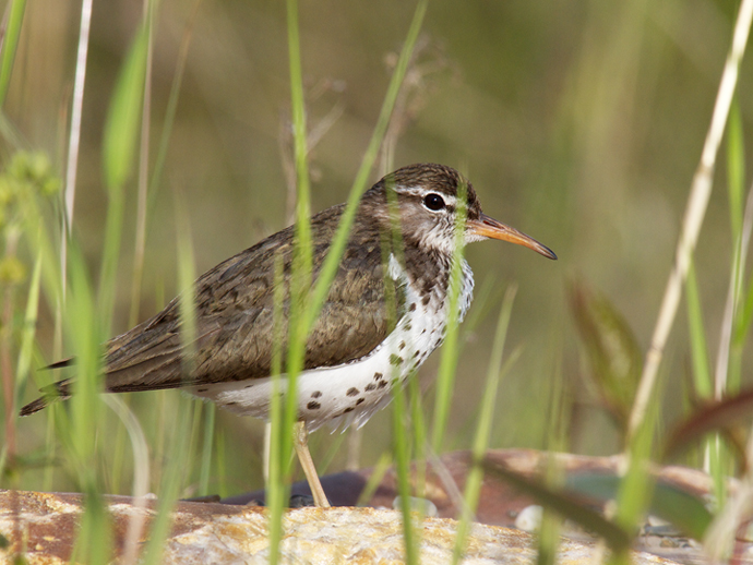 Spotted Sandpiper, Breaking the Rules © 2011 Frozen Feather Images
