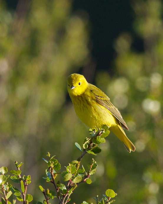"Yellow Warbler, ""Standard"" Composition"
