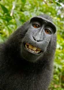 Crested Black Macaque Self-Portrait
