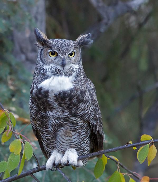 Great Horned Owl (Female)