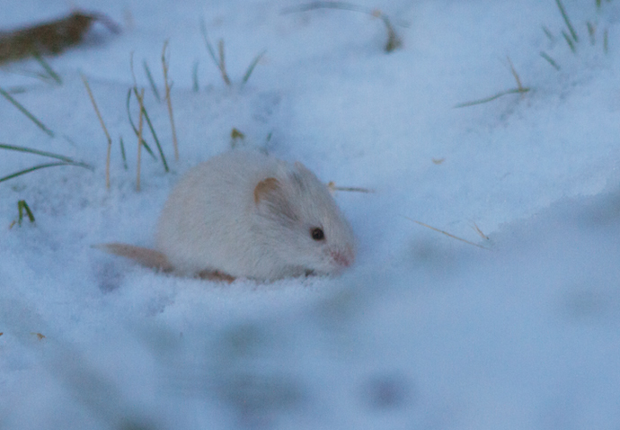Leucistic Red-backed Vole