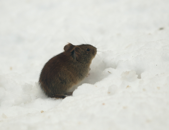 Red-backed Vole