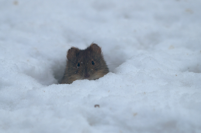 Red-backed Vole Poking Out of Tunnel