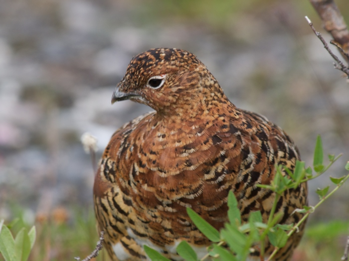 Willow Ptarmigan II