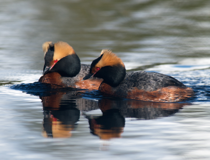 Horned Grebe Courtship