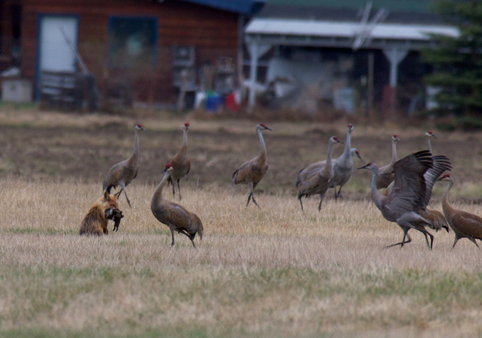 Sandhill Cranes Harassing Red Fox with a Prize