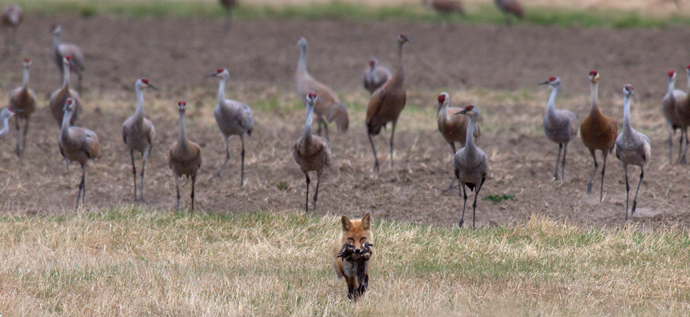 Cranes Herding the Fox Away