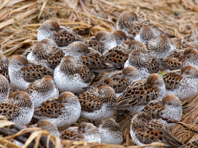 A Pile of Peeps - Mixed Western and Least Sandpipers Huddle