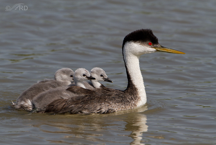 Ron Dudley, Western Grebe Carrying Chicks