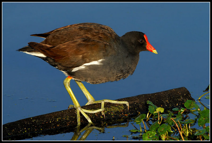 Ronnie Gaubert, Common Moorhen, 2007