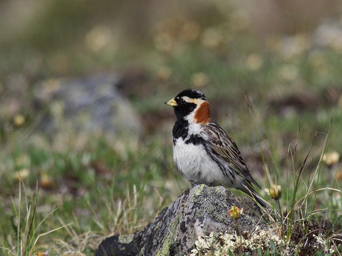 Lapland Longspur Male