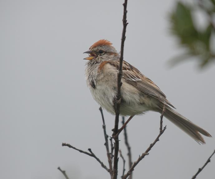 American Tree Sparrow, Denali Highway