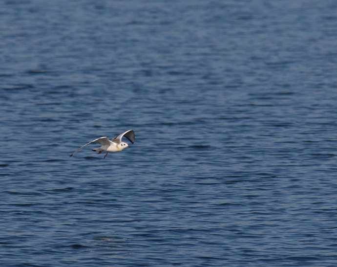 Mystery Gull in Flight, Distant View