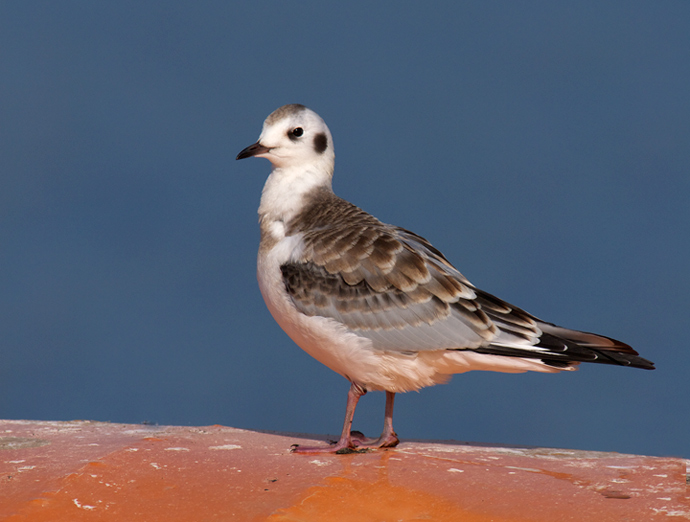 Mystery Bird Perched: Juvenile Bonaparte's Gull
