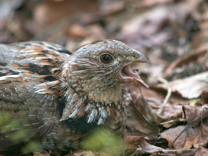 Ruffed Grouse Closeup