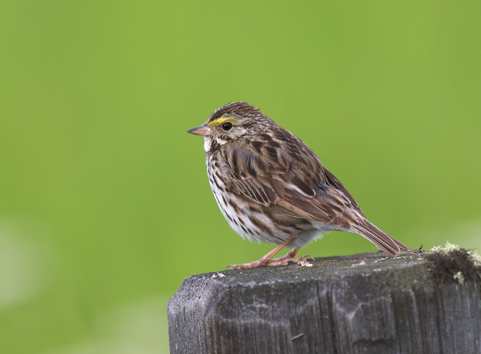 Savannah Sparrow, Creamer's Field