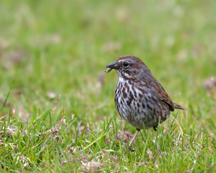 Song Sparrow, Sitka, Alaska