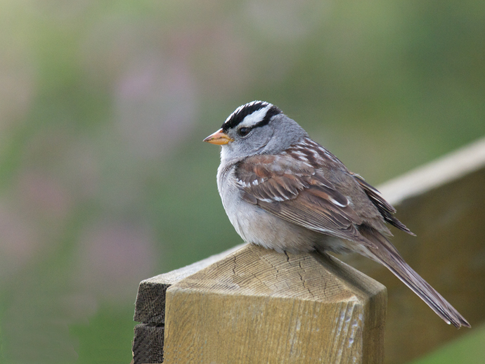 White-crowned Sparrow, Creamer's Refuge