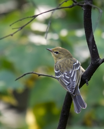 Blackpoll Warbler - Winter Plumage
