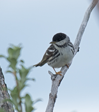 Blackpoll Warbler - Breeding Plumage