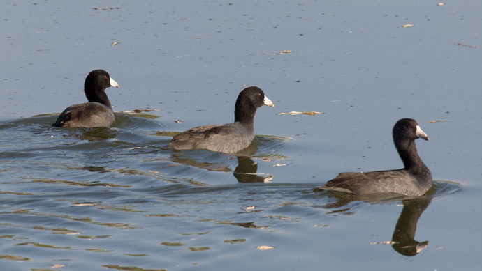 American Coots, Hagerman Wildlife Management Area