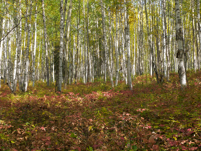 Birch Trees and Mixed Understory