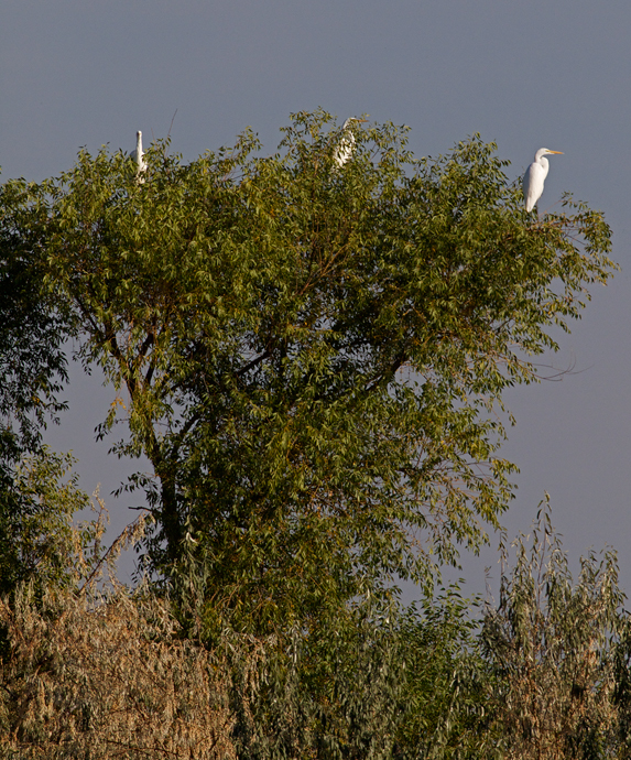Great Egrets Roost Tree