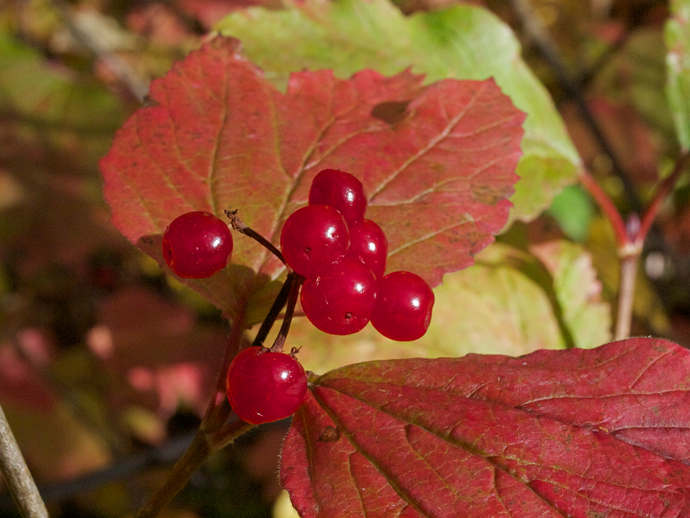 Highbush Cranberry Closeup