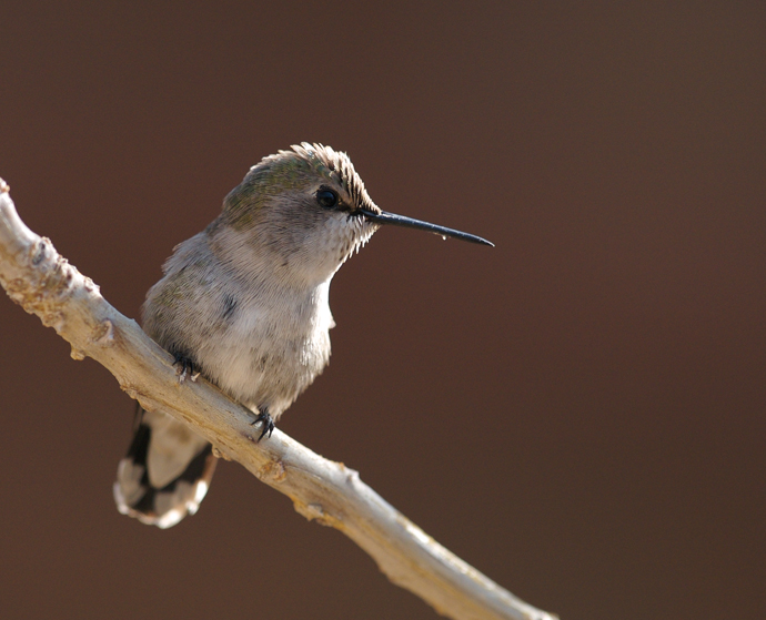 Anna's Hummingbird on Circuit
