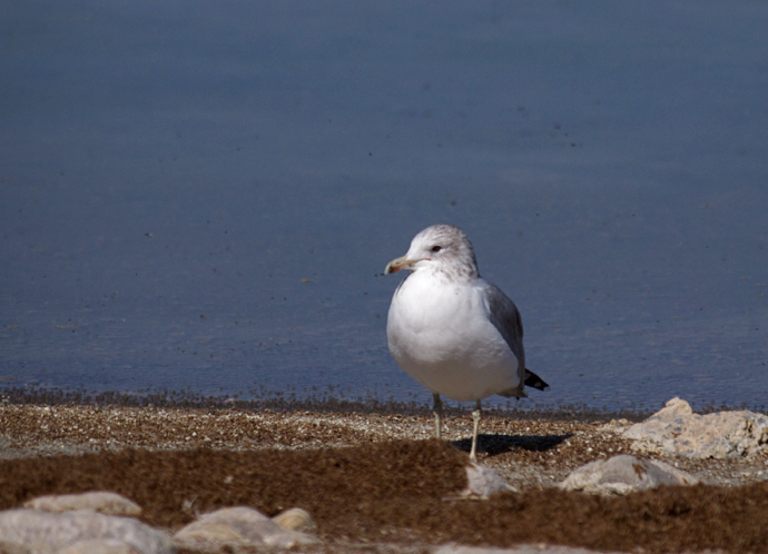 California Gull, non-breeding plumage, Great Salt Lake