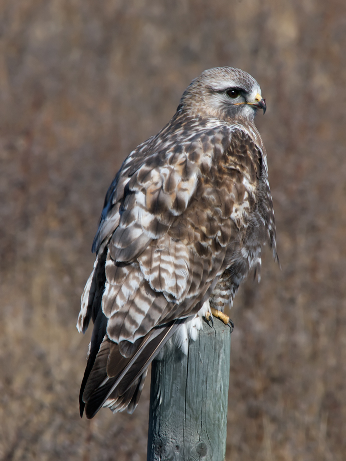 Rough-legged Hawk Rousing
