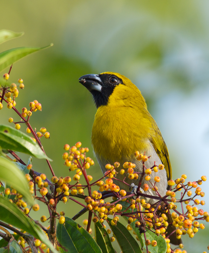 Black-faced Grosbeak